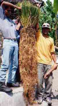 Vetiver grass has deep roots