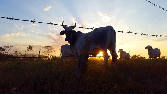 Cows Across the Street