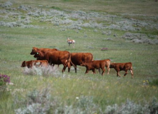cows-with-antelope