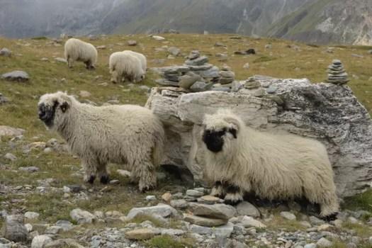 Zermatt blacknose sheep