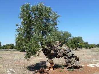 21-Ostuni Masseria Brancati oliviers millénaires2