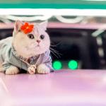 Mao Mao, the feline car model that earns more than most humans