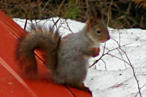 A squirrel as a hood ornament