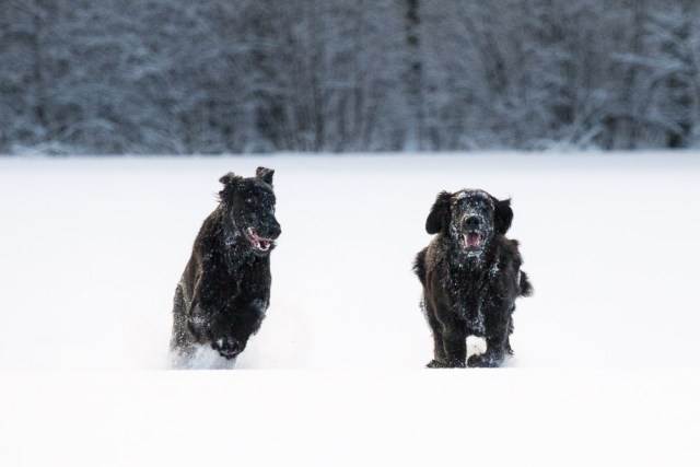 two black flatcoated retrievers running in the snow