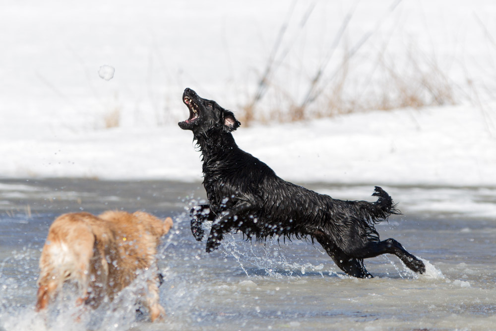 Flatcoated retriever leaping after a snowball