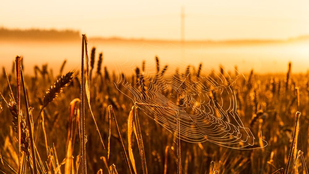 Spider web in rye field during sunrise