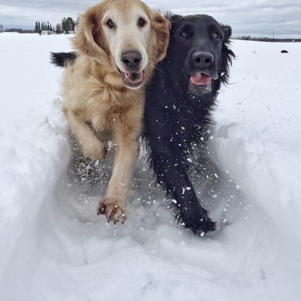 two flatcoated retrievers, Luka and Topi, running in the snow