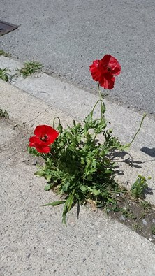 concrete poppies