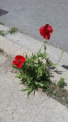 concrete poppies