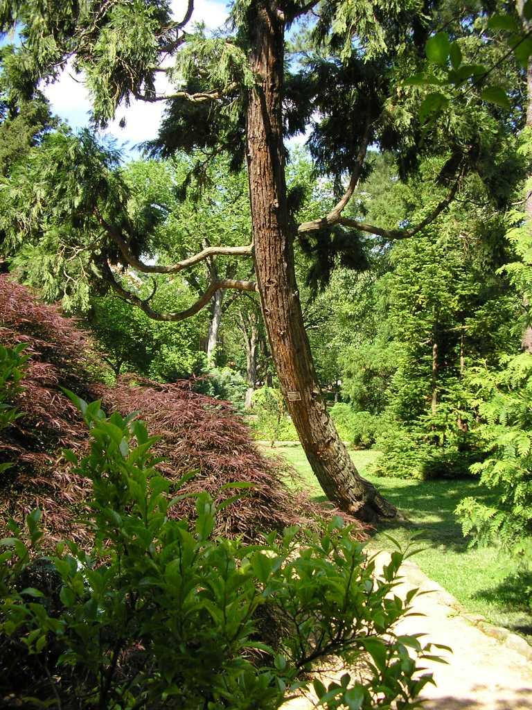 incense cedar Coker Arboretum