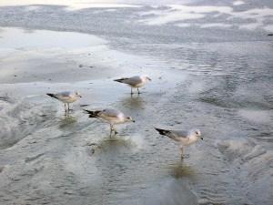 Emerald Isle birds