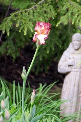 A second variety of iris.