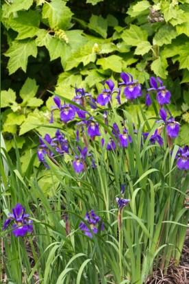 Siberian iris followed the other iris.