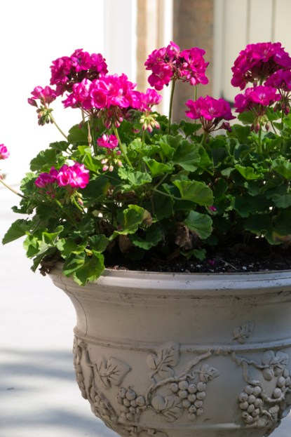 13-geraniums-2013-06-21