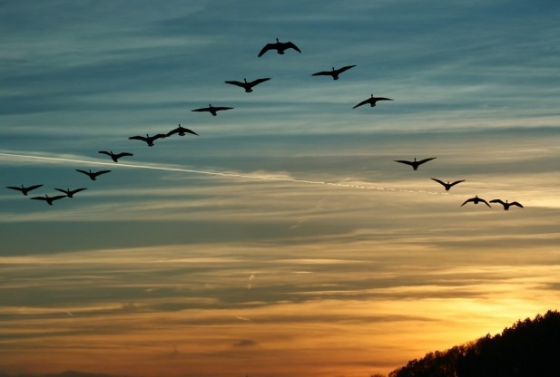 flying-birds-shutterstock_119509225-617x416