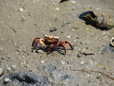 Thousands of these crabs all over the beach.......ducking into holes in the sand anytime we moved.