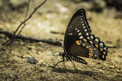 Swallowtail butterfly - Starr's Mill, GA