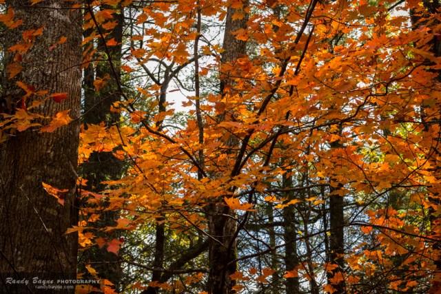 fall color - orange leaves