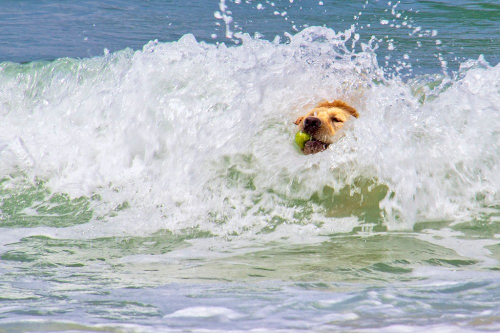Dog in the surf with ball