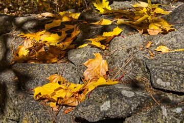 Yellow leaves on a rock
