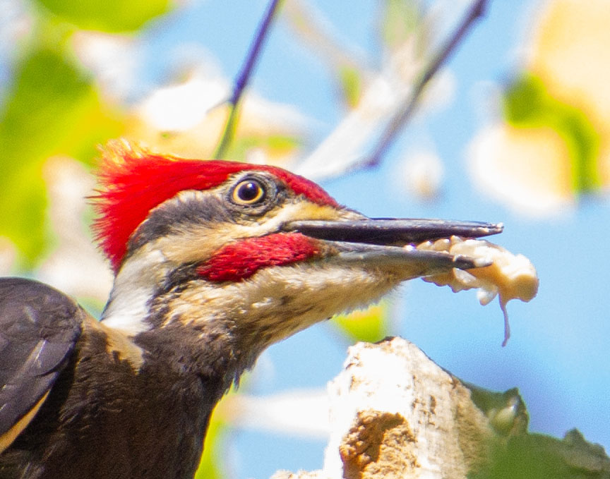 woodpecker with larvae