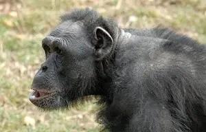 Chimpanzee watching people at Wellington Zoo.
