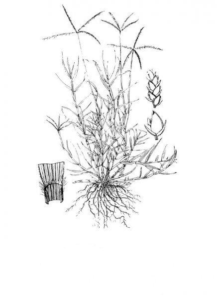 Plants of Texas Rangelands » Bermudagrass