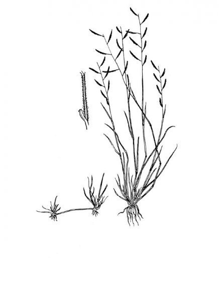 Plants of Texas Rangelands » Black grama