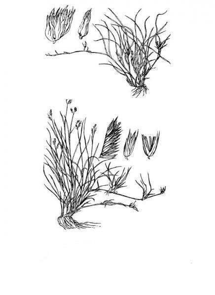Plants of Texas Rangelands » Buffalograss