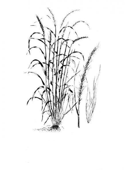 Plants of Texas Rangelands » Canada wildrye