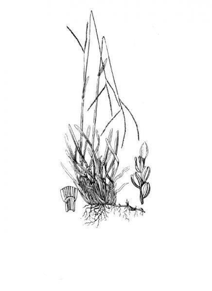 Plants of Texas Rangelands » Common carpetgrass