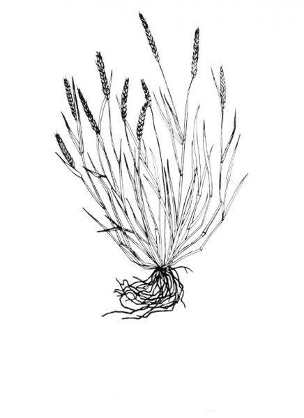 Plants of Texas Rangelands » Little barley