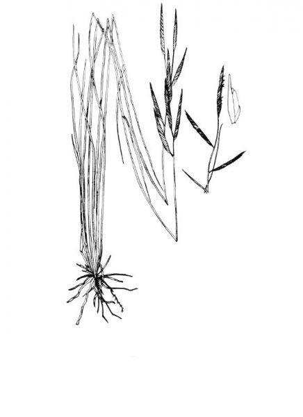 Plants of Texas Rangelands » Marshhay cordgrass