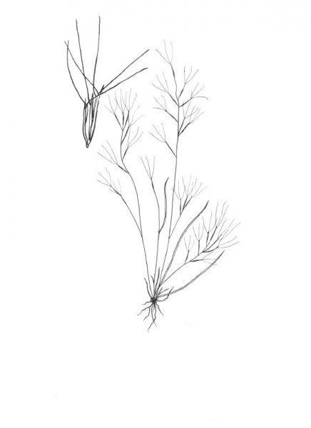 Plants of Texas Rangelands » Oldfield threeawn