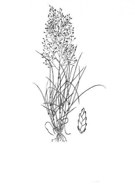 Plants of Texas Rangelands » Plains lovegrass