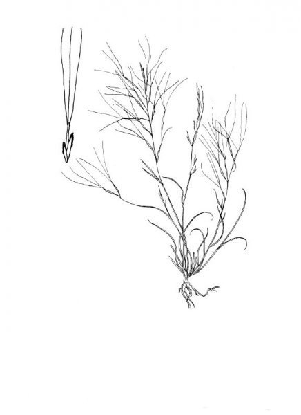 Plants of Texas Rangelands » Purple threeawn