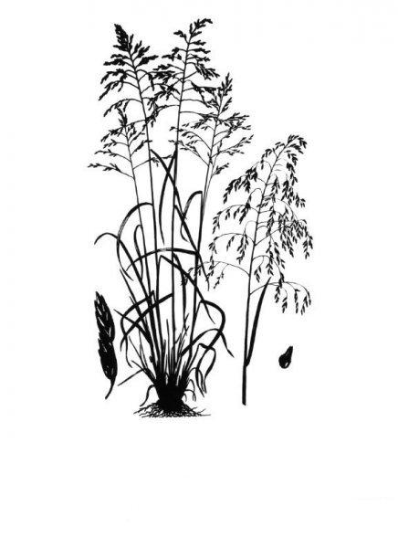 Plants of Texas Rangelands » Purpletop