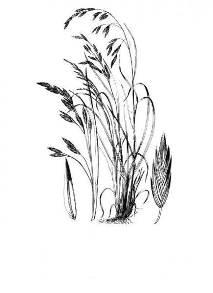 Plants of Texas Rangelands » Rescuegrass