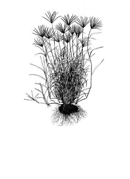 Plants of Texas Rangelands » Rhodesgrass