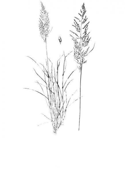 Plants of Texas Rangelands » Sand dropseed