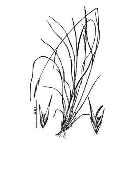 Plants of Texas Rangelands » Tall dropseed