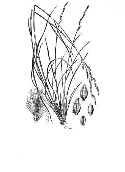 Plants of Texas Rangelands » Texas cupgrass