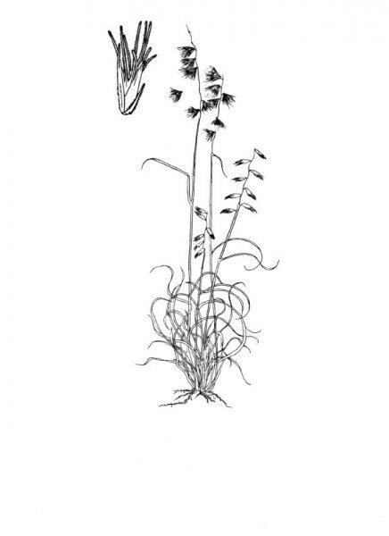 Plants of Texas Rangelands » Texas grama
