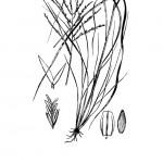 Plants of Texas Rangelands » Green sprangletop