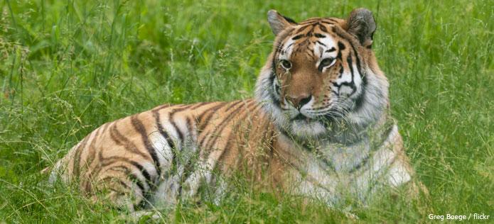 tiger in grass