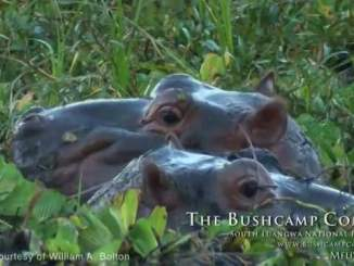 Baby Hippos in Wetland