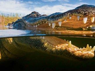 Alligators Ranger Rick September 2017