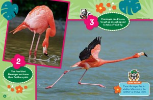 Flamingos Ranger Rick Jr February 2017 2