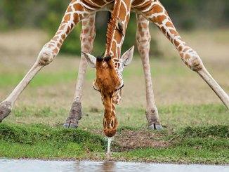 Giraffe Ranger Rick Jr April 2017