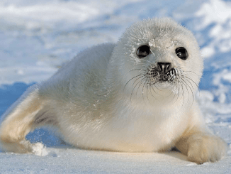 Harp Seals Ranger Rick Jr November 2016